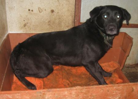 TOMY - labrador 10 ans (9 ans de refuge)  ACPA à Saint Gaudens (31) Tomy2